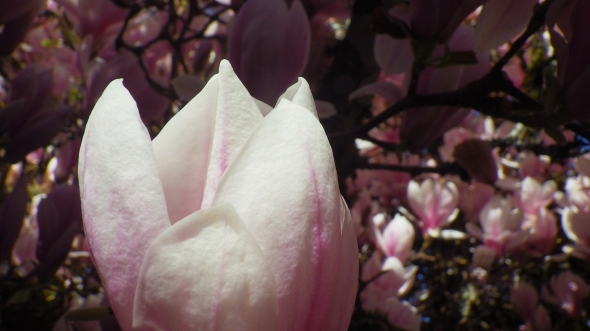 pink and white magnolia blossom