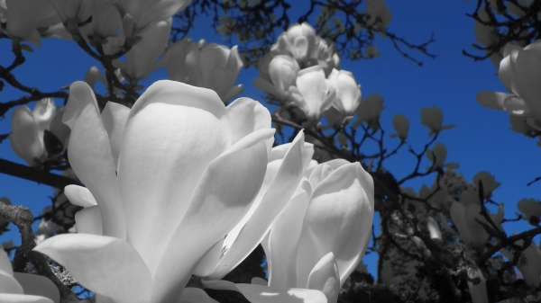 White magnolia blossoms and blue sky