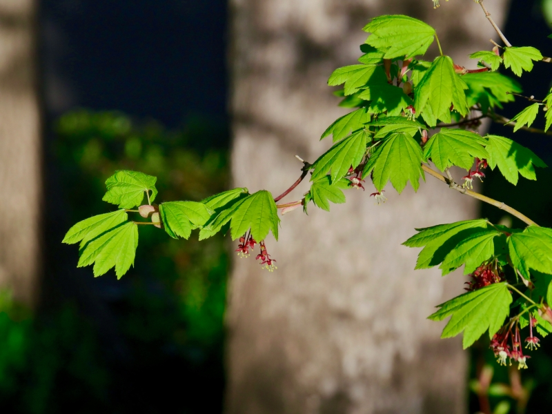 vine maple leaves and blossoms