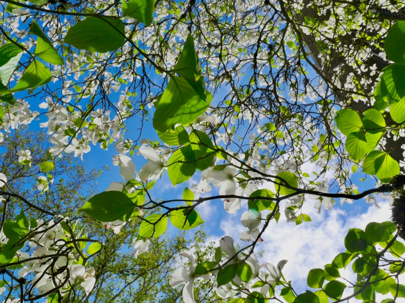 Dogwood tree blooming and blue sky