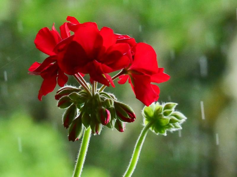 Red geranium flowers and falling rain
