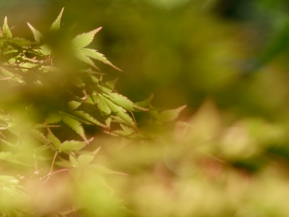New Japanese maple leaves