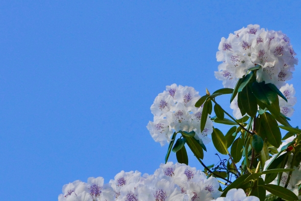Rhododendron blossoms and blue sky