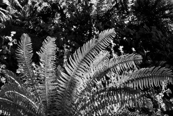 Sword Ferns
