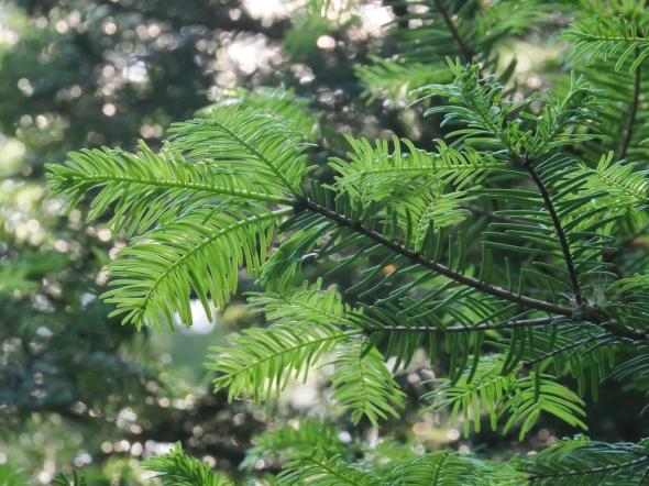 Doug-fir tree needles