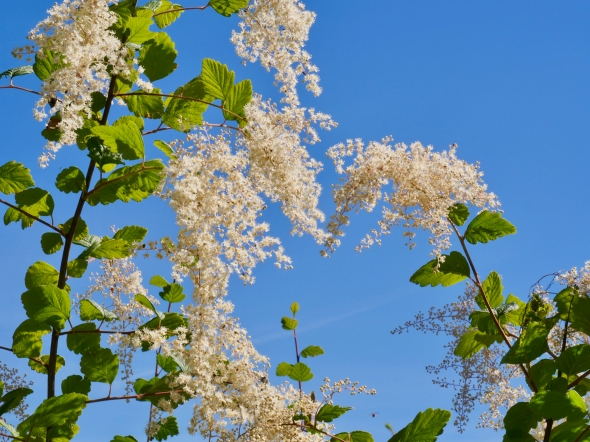 White flowers and blue sky