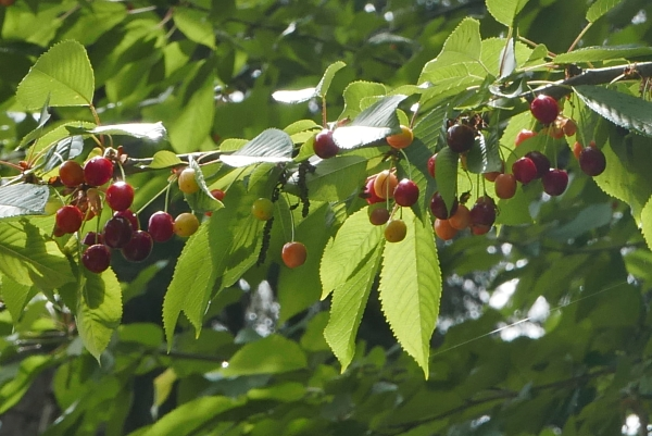 Cherries ripening