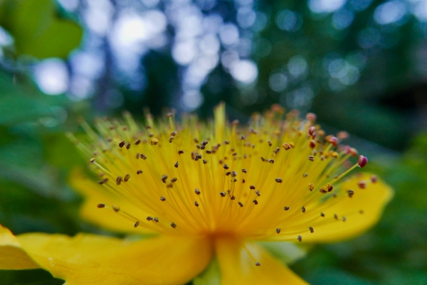 Yellow St John's Wort flower