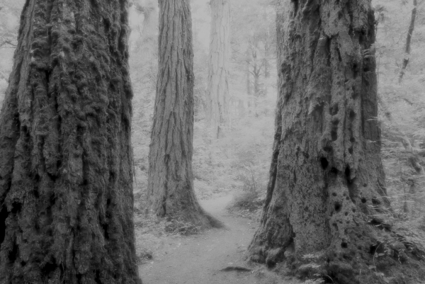 Large tree trunks and path