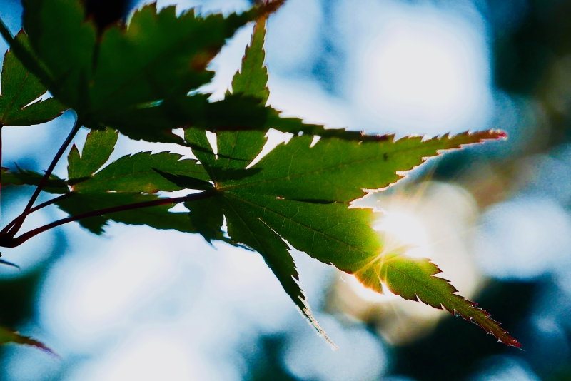 Maple Leaves and Sun