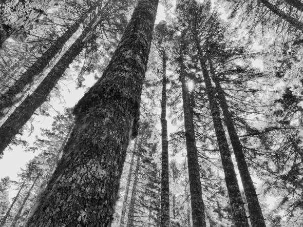 Big trees and sky