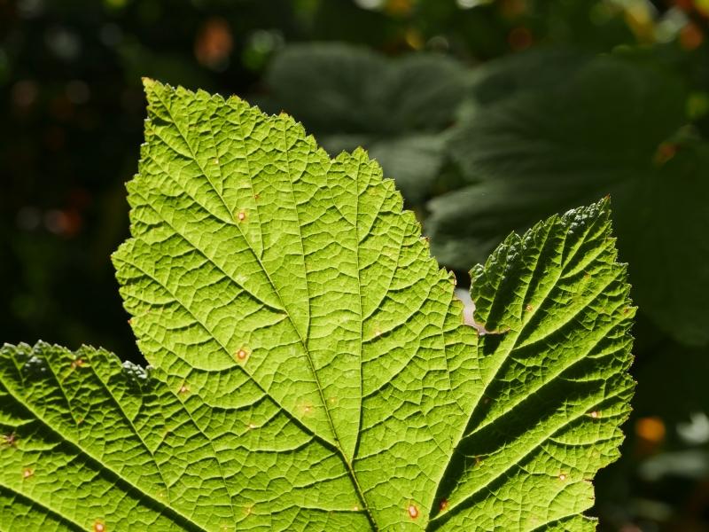 green leaf backlit by sun