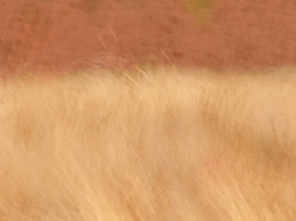 Tawny grass blowing in wind