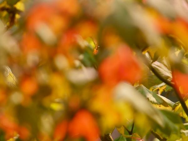 Wild Blur of Maple Leaves
