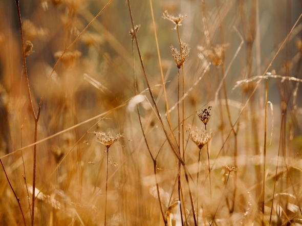 Dried grasses in meadow