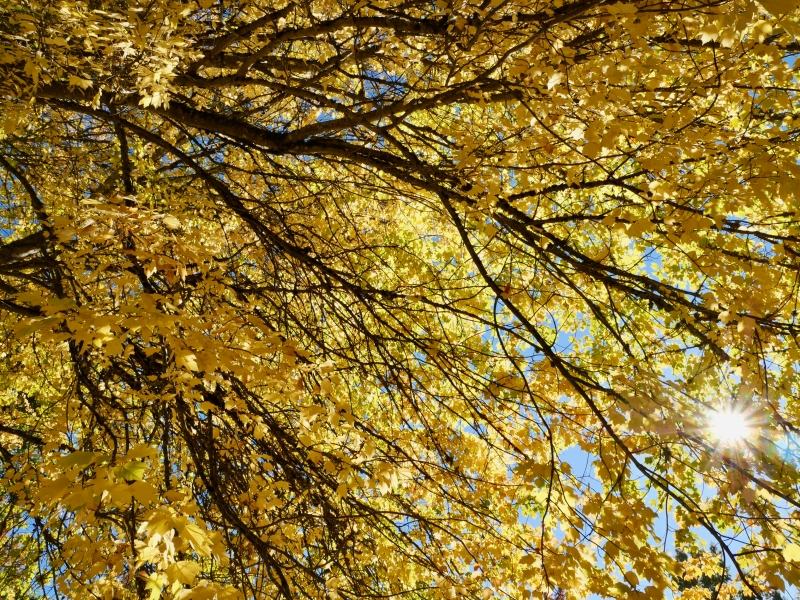 Golden leaves and sun