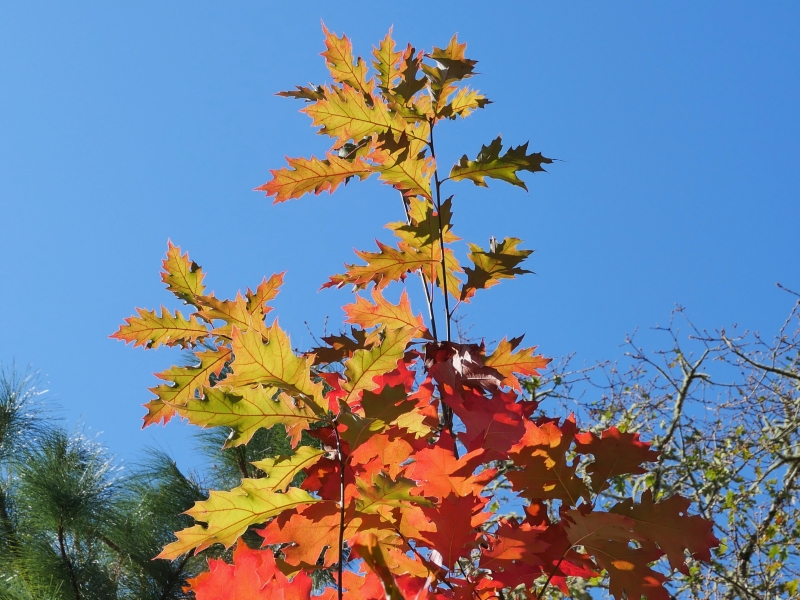 Orange leaves on red oak