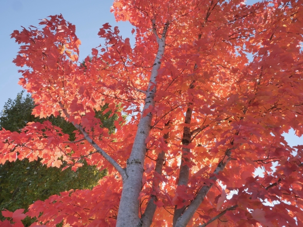 Maple tree with orange leaves