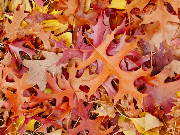red and brown pin oak leaves on ground