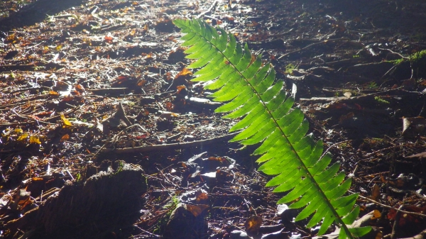 Backlit fern in shadowy forest