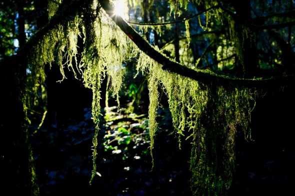 Lichen hanging from branches