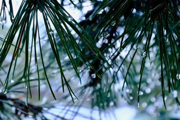 pine needles and water drops