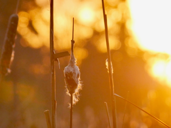 Cattail at