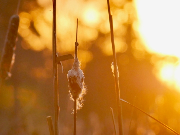 Cattail at sunset