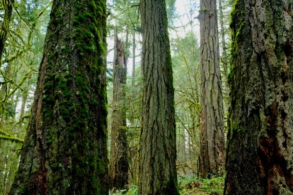 Trunks of large Douglas-fir trees