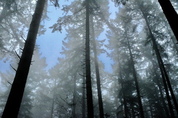 Foggy forest of tall trees