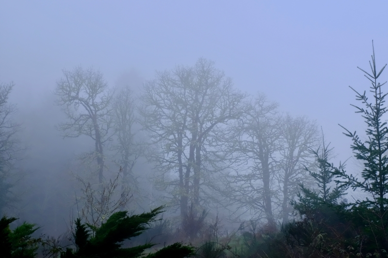 bare trees and fog