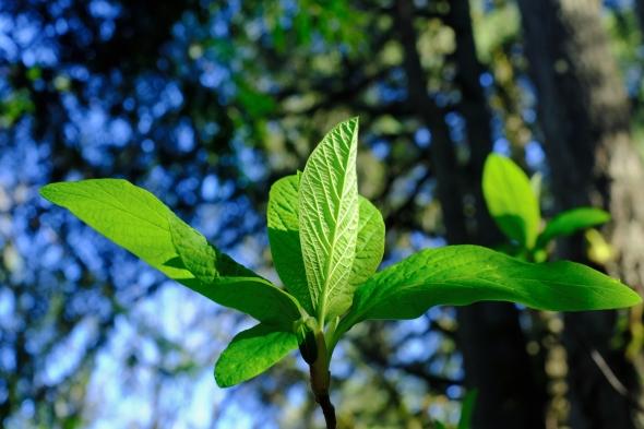 Green leaves unfolding