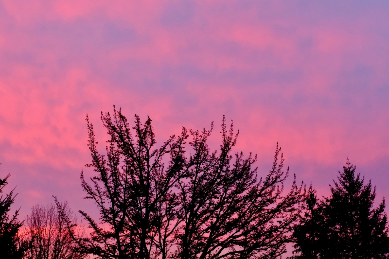 Pink sky and trees in silhouette