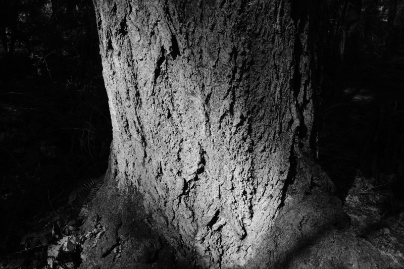 Furrowed trunk of large tree