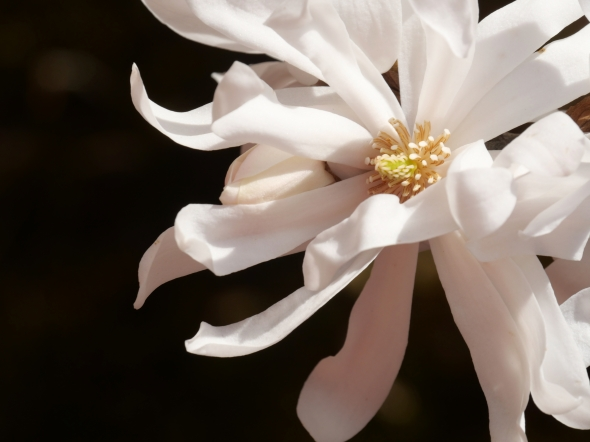 Star magnolia bloom