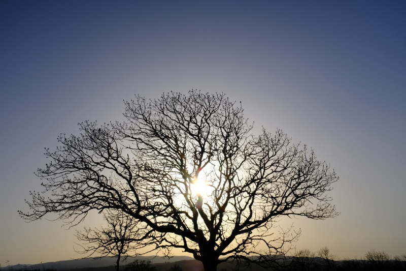 Tree in silhouette and setting sun