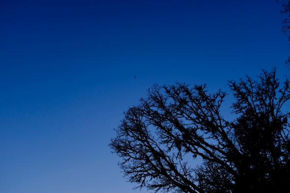 Silhouetted trees, dark blue sky and flying goose