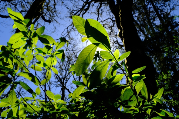Green leaves backlit by sun