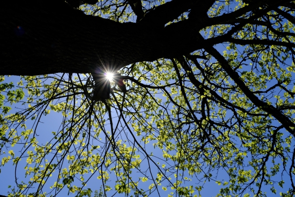 sunburst and maple tree with new leaves