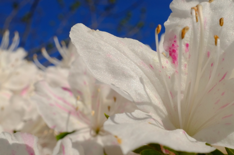 Pink and white azalea blossoms