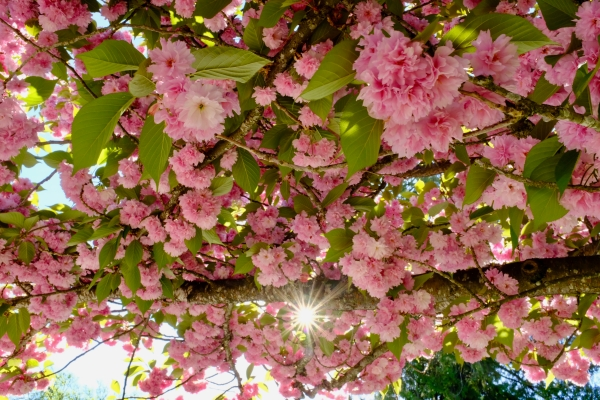 Cherry blossoms and sunburst