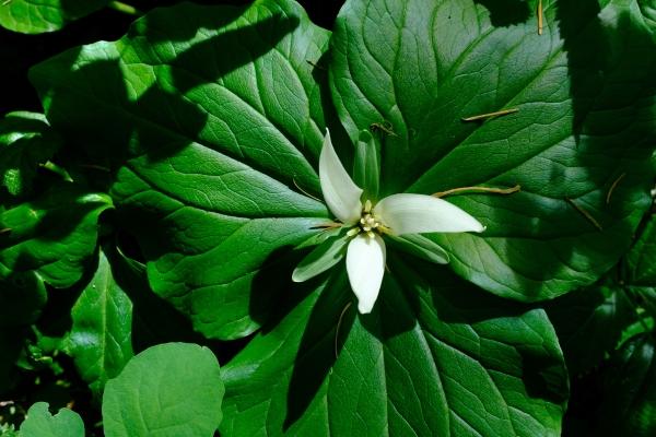trillium flower