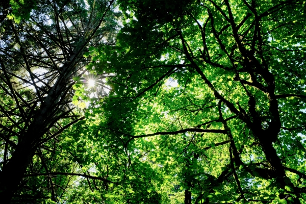 Forest, green leaves and sun