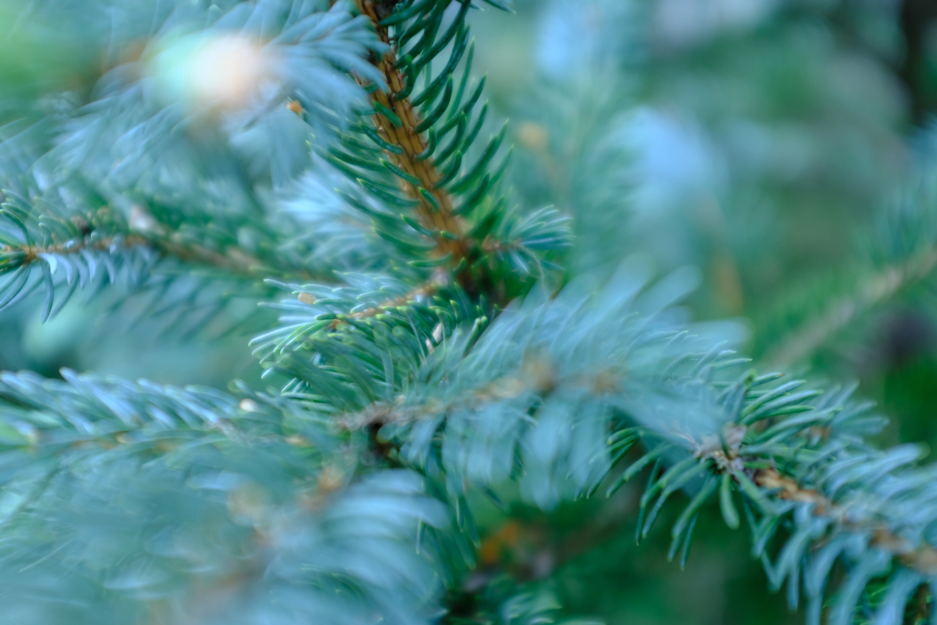 Needles and branches of blue spruce tree
