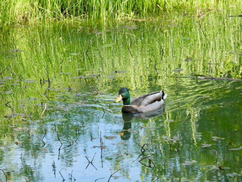 duck paddling in wetlands