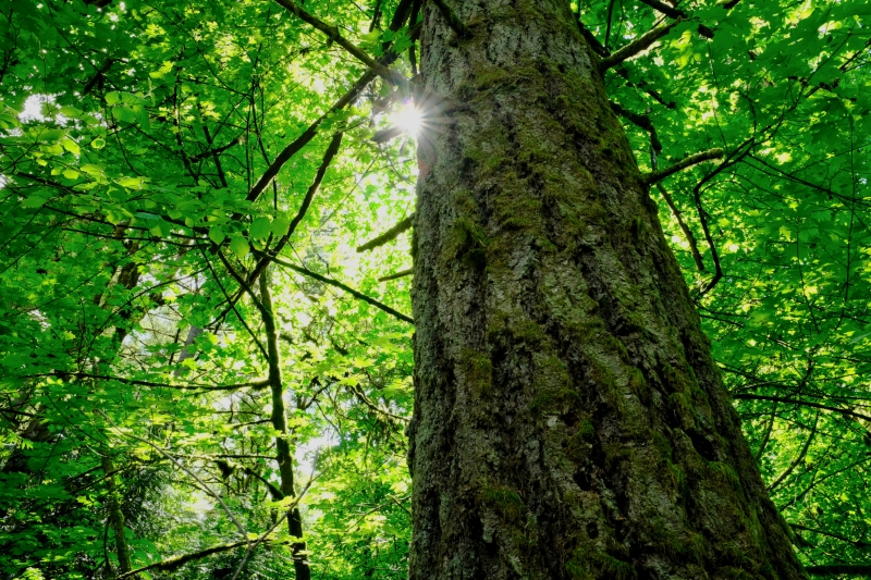 Sun, large tree trunk and green leaves in forest