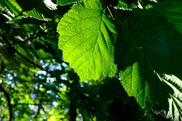 Green hazel leaf