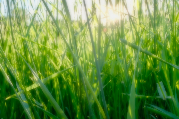 Sun shining through tall grass