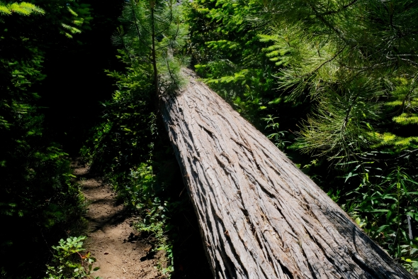 Trail, forest and fallen tree
