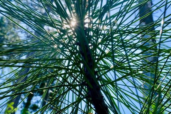 Pine needles and sun